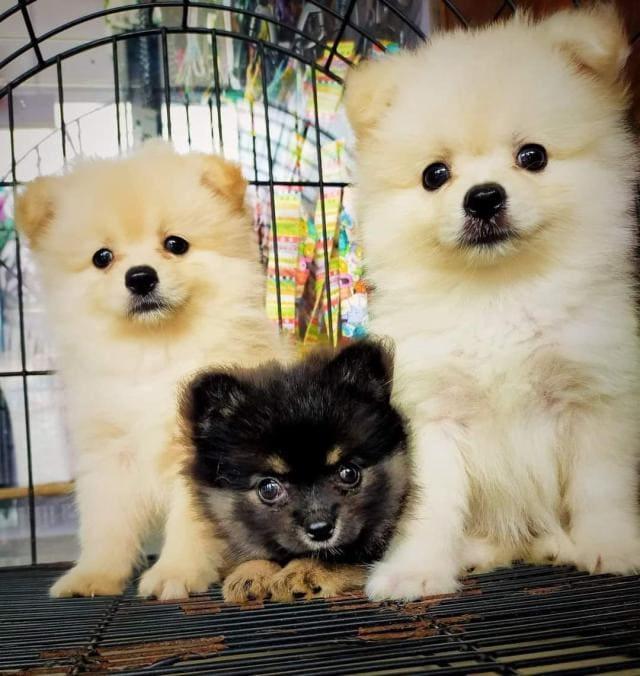 Pomeranians - Almond, Peanut, & Cashew